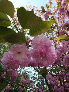 朝靄の中で。。。 皆さんこんにちは!  ルパン地方ソメイヨシノは葉桜に! 垂れ桜は、半々かな? 八重桜は今が見頃! 今
