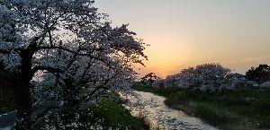 朝靄の中で。。。 夕陽と桜 アグリ地域いまが見頃‼