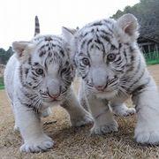 虎バームのトラ部屋