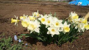 早起きおじさんの記録(1941年生) ※       ナナピーさん ばばさん 今晩は。    桜が咲いているのに今日の気温 新緑を飛び越え