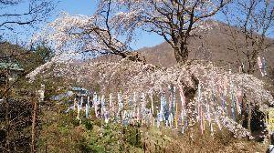 早起きおじさんの記録(1941年生) ※    みなさん 今晩は。    谷間の部落の鯉幟 桜が満開になったので再度写してきました。