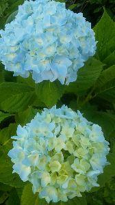早起きおじさんの記録(1941年生) ※     ばばさん ナナピーさん こんにちは。      関東甲信 六月の下旬に梅雨明け宣言があっ