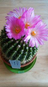 早起きおじさんの記録(1941年生) ※     何年も咲いたことがなかったサボテン 今年は綺麗な花を見せてくれました。