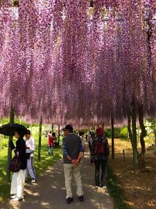 居酒屋♪ 一昨日と昨日は30度近く温度があり お店の近くの蓮華寺公園の藤の花が(市の花)がも満開です 歩いて1
