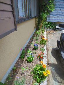 居酒屋♪ お店の貫したの 小さい 花壇もおばちゃん達が 植え替え 綺麗に咲いてきました