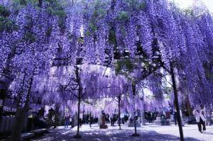 ひまだよ~(*´ω`*) 只今~~~(^-^)  桜もいいけど桜の時は寒いから花見はしないで  藤の花でお花見です。