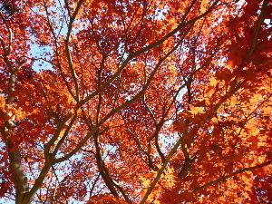 浅草発・ぶらりハイキング、山旅日記 皆さん、お~は~です!  25日の大平組の皆さんお疲れ様~  紅葉が真っ盛り!人も真っ盛り?  帰り