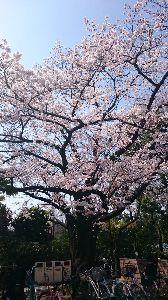 穏やかな場所 再度 投稿しますm(__)m  こちらは、大学病院の敷地内に、美しく咲き誇る桜です🌸✨  私同様、き