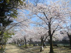 でたらめ☆ファンタジー 満開だった桜、雨に耐えてました。  平和公園の桜です。 ここを真っ直ぐ行くと、原爆ドームが見えてきま
