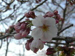 でたらめ☆ファンタジー 桜の花が咲きました。