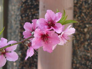 でたらめ☆ファンタジー こちらも昨日、桜の満開宣言が出ました。 でも今日は朝から雨で、ちょっと残念です。  今年は、どういう