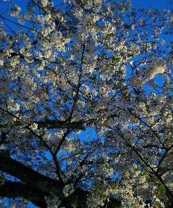 ひと休み 2 こんばんは 夜桜お月です♪  まだ十分咲いてるけど 先週くらいがピークだったかな