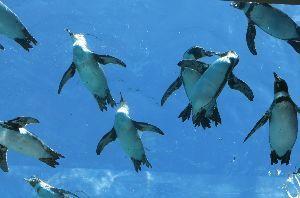 頭の体操 ♪ 5・7・5 ♪ ラブラブの 空飛ぶペンギン みぃつけた