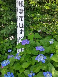 もう良いじゃないか。 御霊神社の境内の紫陽花です。 (撮影6月7日)