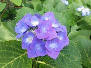 もう良いじゃないか。 肌寒い梅雨ですね。でも紫陽花は喜んでいることでしょうね。 また鎌倉に行きたくなりました。