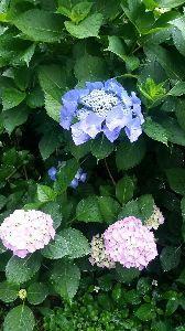 もう良いじゃないか。 朝露に濡れて嬉しそうな紫陽花