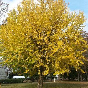 もう良いじゃないか。 銀杏の黄色も素敵ですよね🎵
