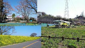 千葉県内~関東…一緒に走りましょう!!Ⅱ ぴこりんさん  桜!青空に映えますね!? やはり日本人は桜に象徴されるように散り際が肝心ですよね!