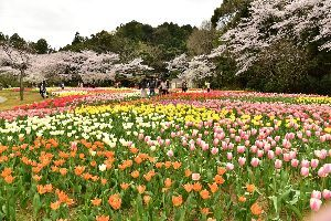my picture town はままつフラワーパークから  桜とチューリップなどの花の紹介  撮影日は4月9日です  http:/
