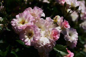 my picture town 浜松フラワーパークのバラなど   2016/05/13  http://img.gg/PrW9Jcp