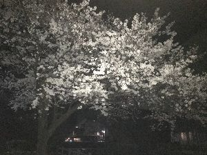 県外に住んでます。熊本の人と話したいです。 こっしぃさん こんばんは🌸 暖かい日が続くね! 桜も今週末が身ごろで、天気も良く 花見が多いと思われ