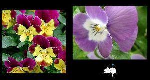 何となく話したい時  ~ viola ~ purple: 揺るがない魂 yellow: 小さな幸福  その花言葉を知り