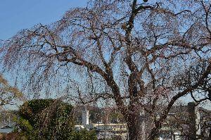 天然ってよく言われます^^;(ボケ) 横浜市泉区岡津町に西林寺と言う古いお寺が有ります、そこに  樹齢160年と言う、枝垂れ桜が有名なんで