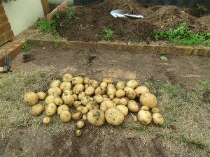 姫路の方で中高年の山の好きな人。 こんにちは ジャガイモを植えてましたが今日引っこ抜きました タネイモ8個でまともに育ったのは5個でし