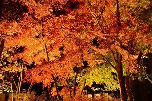 姫路の方で中高年の山の好きな人。 今晩は。  今年の紅葉もそろそろ終わりですね。 昨夜の綺麗な紅葉も殆ど落ちてしまいました。  庭のラ