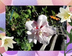 暇人が日記代わりに・・・・ 台風の上陸が迫って来ましたが  上陸は四国周辺になりそうな気配・・・・・  庭の花に被害の出ない事を