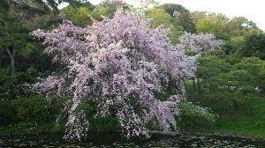 道の駅 車中泊とスタンプと・・・ 横浜の三渓園のしだれ桜です。ソメイヨシノに遅れて満開ですね。 三渓園は、高低差と湧き水などがあり、散