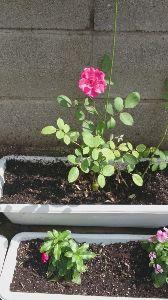 ★★★★★ あ な た と ・・・ 野バラ、60本、挿し木  素人は、30%=18本開花、合格  まなは、合格、みたい  毎十月、開花、