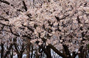 下手の横好き、一人きり 日本人は桜が大好きなのに 雪やアラレ、雨が降り、風は冷たく 花見どころでは無い それでも、わずかな晴