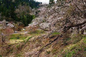 下手の横好き、一人きり 下条ダムの桜 まだ満開になっていない 大雪で木々は荒れ放題だ