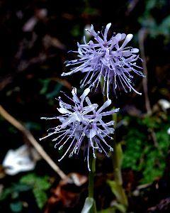 下手の横好き、一人きり 下条ダム周辺で見つけた花