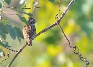 下手の横好き、一人きり カシラダカ 見つけるとすぐに飛び去る MFでは撮りづらい鳥かもしれない