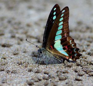 下手の横好き、一人きり 海岸で蝶蝶めっけ 種を検索し忘れた 後で調べよう アゲハの仲間だろうな