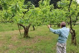 8095 - イワキ(株) 栗の木 高木の栗は落ちて虫食い。 売り物にするには低木栽培にかぎる。
