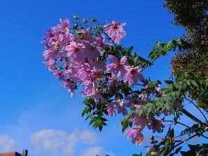 躰が燃えて濡れて困ります  晩秋に為って「行程ペンギンの花」が綺麗ですよ~ん、青空と薄紫色の花が何とも ええ加減❔にバッチグー