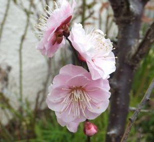 東男・京女 皆さん今日も寒いですね しもやけも、あと少し 辛抱します 暖かく成れば 直りますね  梅の花入れます