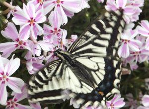 東男・京女 皆さん今晩は 庭に咲いていた芝桜に チョウ 美味しそうに 花の蜜を 食べていました 写真映しても 逃
