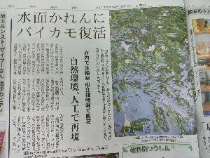 東男・京女 京都に「梅花藻」が復活しました。 13日土曜日の京都新聞に載っていました。(植物園たより通信) 人工