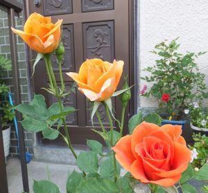東男・京女 今晩は 今日は暑い位でしたね入口の 薔薇がとても綺麗に咲きました 入れますね