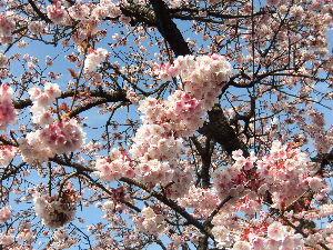 東男・京女 みなさん、こんにちは。 今日は青空の暖かい一日です。 前々回の載せました河津桜もほぼ満開に咲いていま