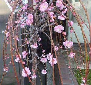 東男・京女 今晩は河津桜綺麗ですね 枝垂れ梅入れます 早く暖かく成ってほしいです 「しもやけ」足靴が履けません