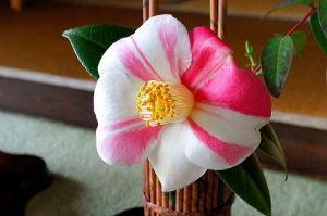 東男・京女 追; 浄安寺の椿の生花の一輪です。 名前は日暮椿だそうです。 今月までが見ごろかと思います。 ぜひ、