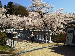 東男・京女 はいはいさん お久しぶりです このところ良いお天気続きで 桜も気持ちよく満開になりましたね 何処を歩