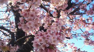 東男・京女 こんにちは。御無沙汰です。 いつもの処で,いつもの時期に,いつものように可憐に咲いています。 河津サ