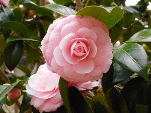 東男・京女 近所の公園では椿が真っ盛りの咲いていました。 添付画像はその中の一花です。 京都府久御山町佐山にある