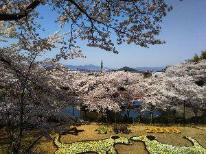 東男・京女 桜井の安倍文殊院です  今日が最高の花見でしたよ  満開で 暑くも無く寒くも無く風もあんまり吹かず